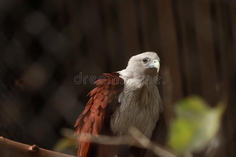 THE GOLDEN EAGLE IN CAPTIVITY royalty free stock images