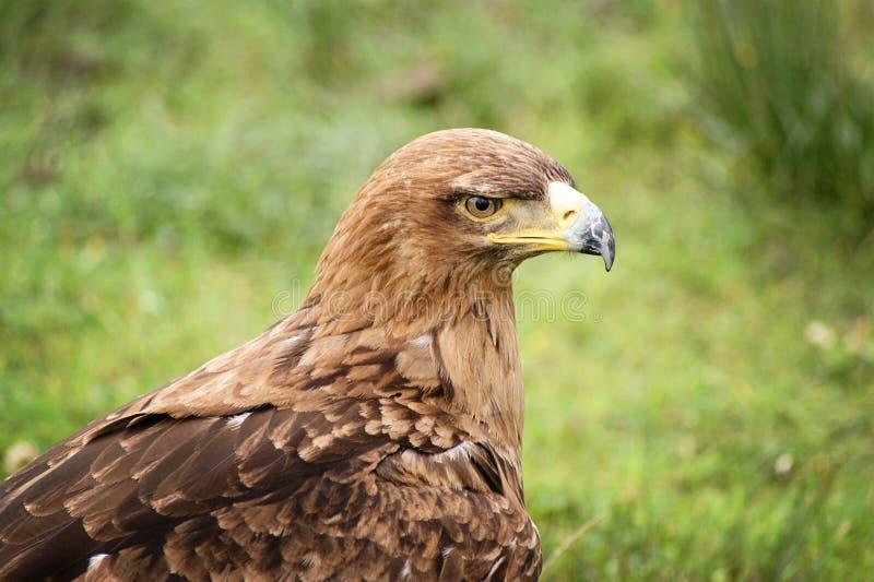 Download Golden eagle stock photo. Image of falcon, beak, yellow - 39505308