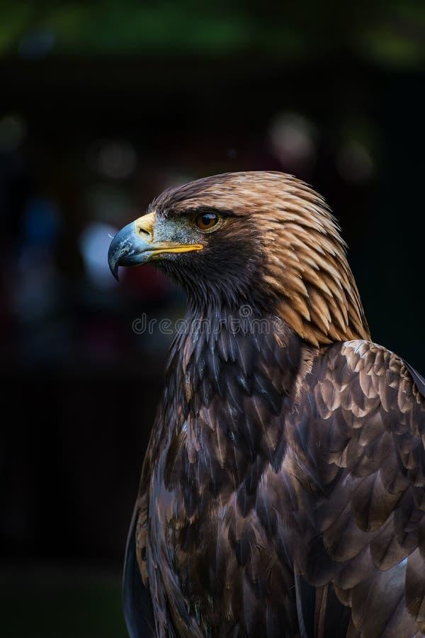 Free Golden Eagle - Closeup Portrait Aquila Chrysaetos Stock Photos - 105423673