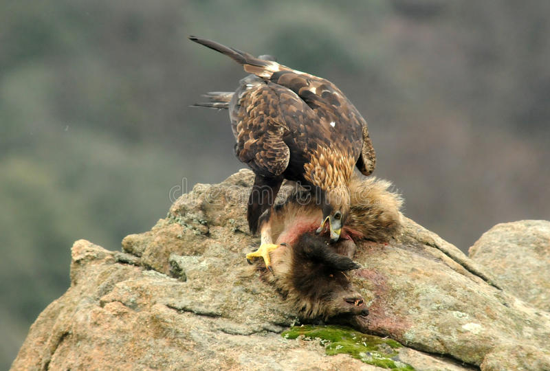 Golden eagle devouring a badger in the rock. A golden eagle devouring a badger in the rock stock photo