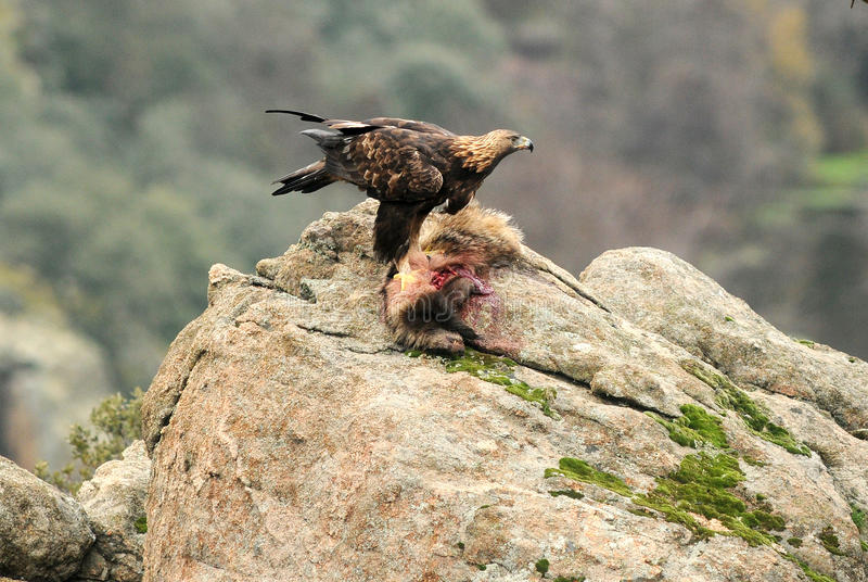 A golden eagle devouring a badger. In the rock stock photography