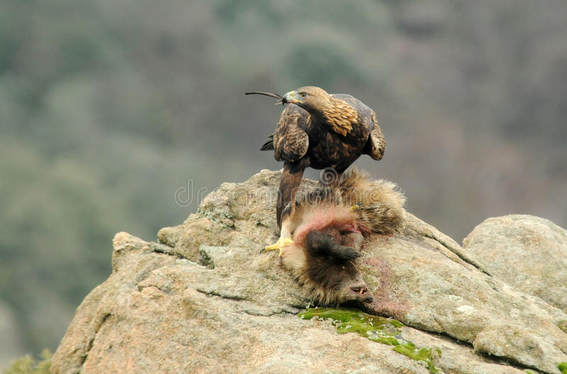 Golden eagle devouring a badger. A golden eagle devouring a badger in the rock royalty free stock photography