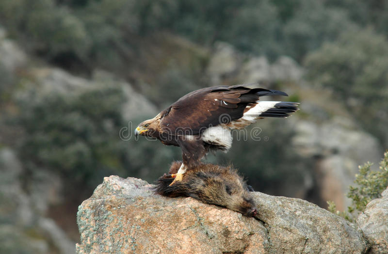 Golden eagle devouring the remains of a boar. A young golden eagle devouring the remains of a boar stock photos