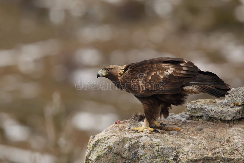 Golden eagle. Eagles, hunting time, mating ritual royalty free stock photography