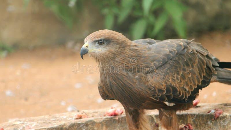 Golden Eagle at VOC Park. Golden Eagle is eating at VOC Park in Coimbatore stock images