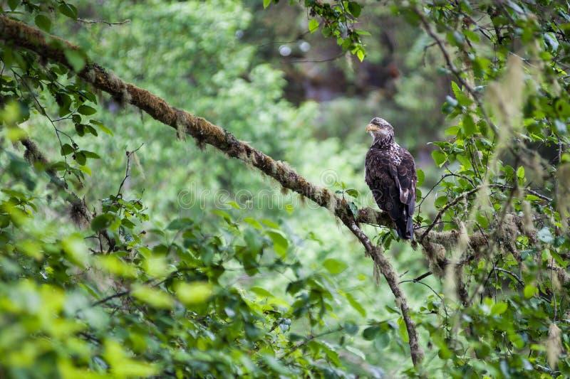 Golden Eagle female royalty free stock image