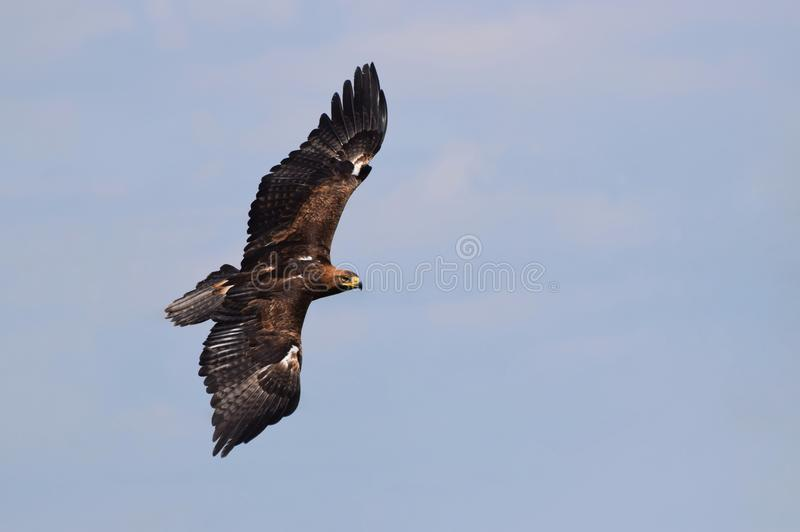 A golden eagle in flight. A golden eagle flies in the sky wings outstretched. Good detail of the bird& x27;s face and body stock photos