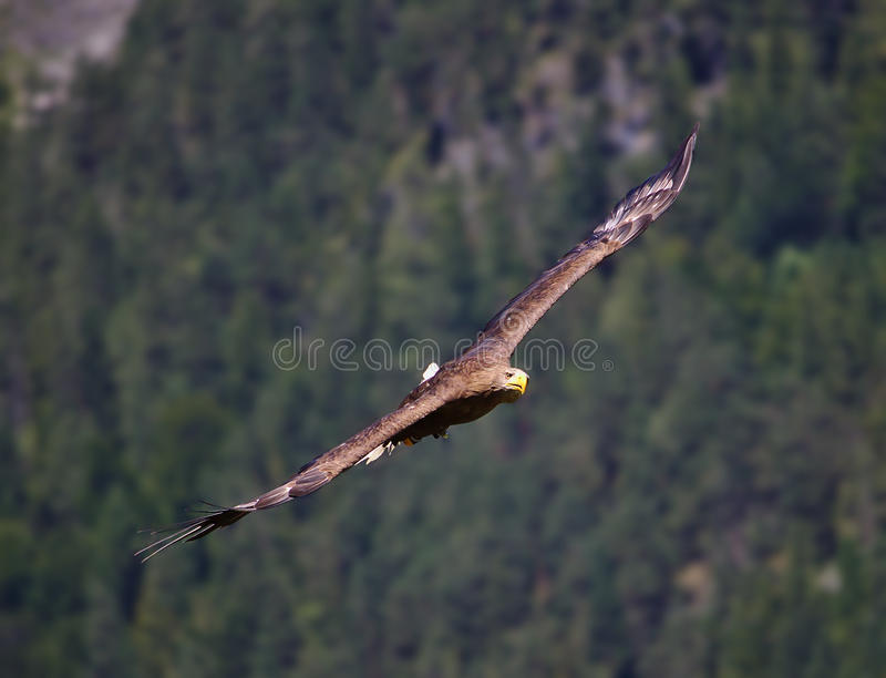 Golden eagle in flight gliding towards observer. With wings spread royalty free stock photo