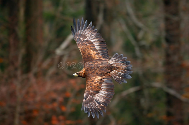 Golden Eagle, flying before autumn forest, brown bird of prey with big wingspan, Norway. Action wildlife scene from nature. Eagle royalty free stock photos