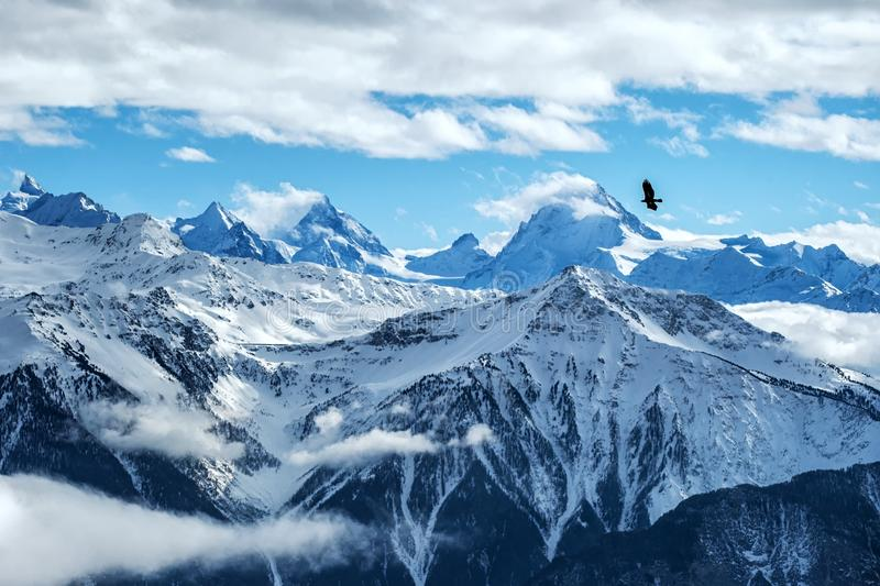 Golden eagle flying in front of swiss alps scenery. Winter mountains. Bird silhouette. Beautiful nature scenery in winter. stock photos