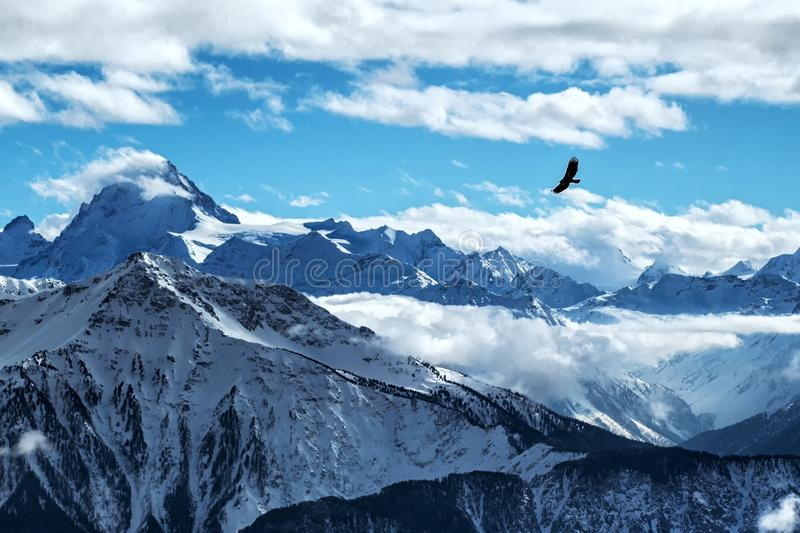 Golden eagle flying in front of swiss alps scenery. Winter mountains. Bird silhouette. Beautiful nature scenery in winter. royalty free stock images