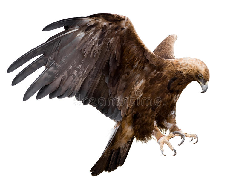 Golden eagle, isolated royalty free stock image