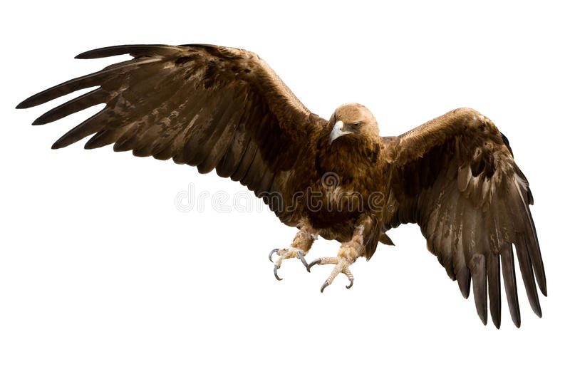 A golden eagle, isolated. A golden eagle with spread wings, isolated over white