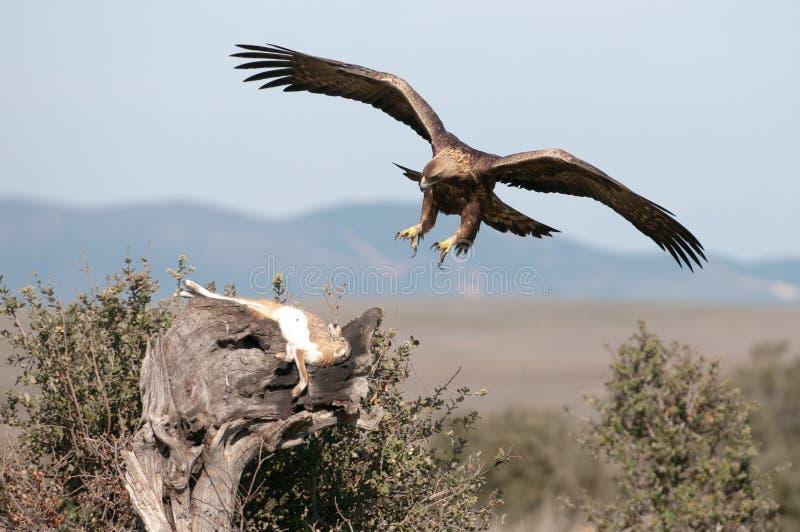 Golden Eagle Kill Hare Wild Free Public Domain Cc0 Image