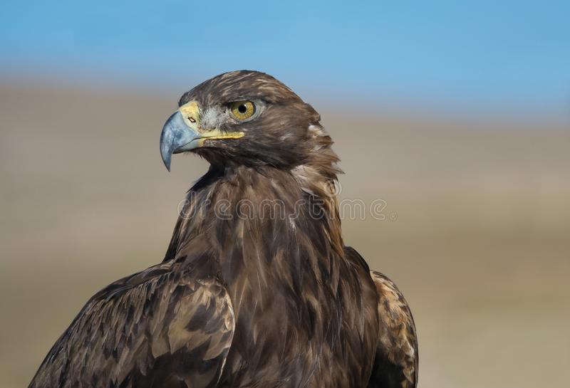 Golden Eagle of Kyrgyzstan royalty free stock photo