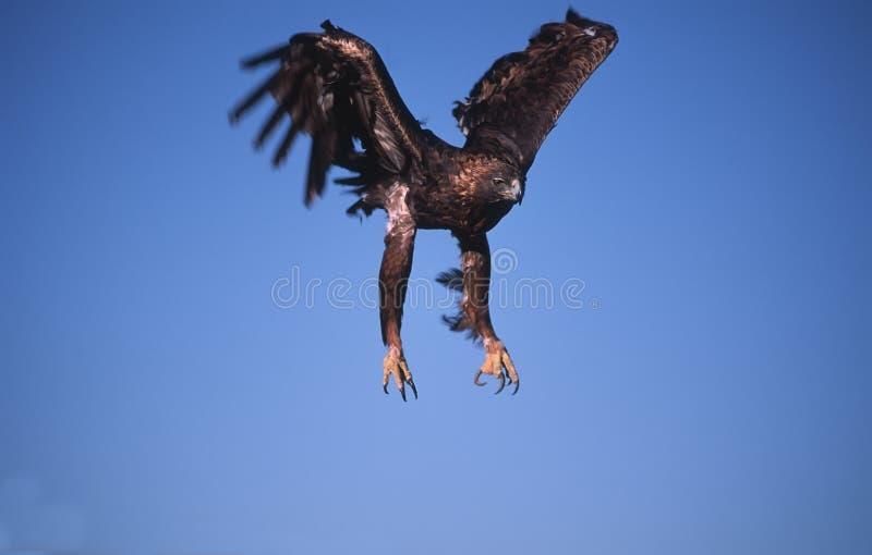 Golden eagle landing royalty free stock image