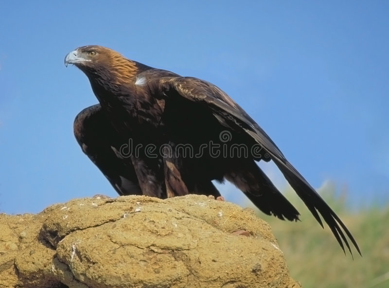 Golden eagle looking for prey royalty free stock images