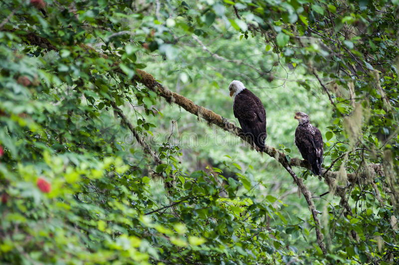 Golden Eagle male and female stock image