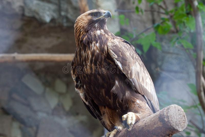 Golden eagle in the Moscow Zoo. NDate of snapshot: 09th june 2018 stock image