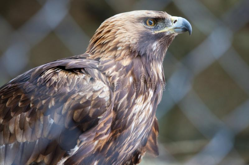 Golden eagle in the Moscow Zoo. NDate of snapshot: 09th june 2018 royalty free stock images