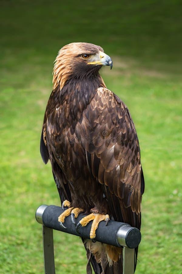 Free Golden Eagle On Perche - Closeup Portrait Aquila Chrysaetos Royalty Free Stock Images - 105423649