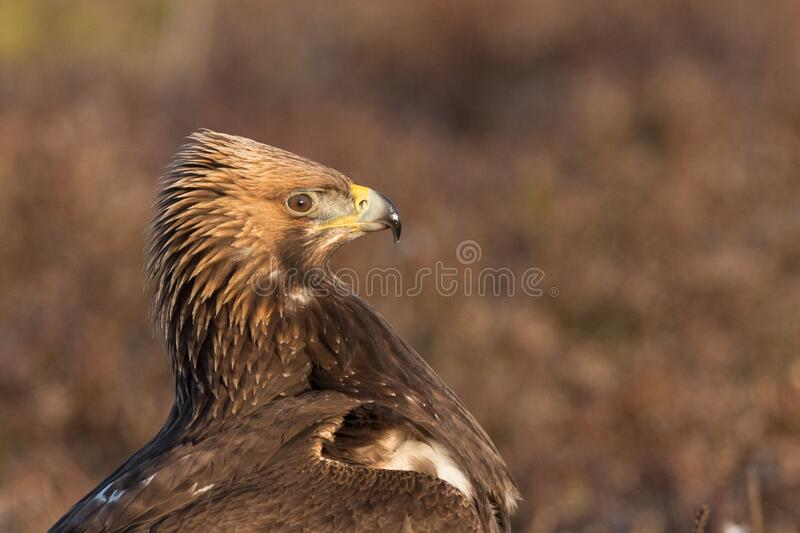Golden Eagle with open bill, proud face close up stock images