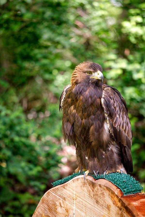 Golden eagle på en perch arkivbilder