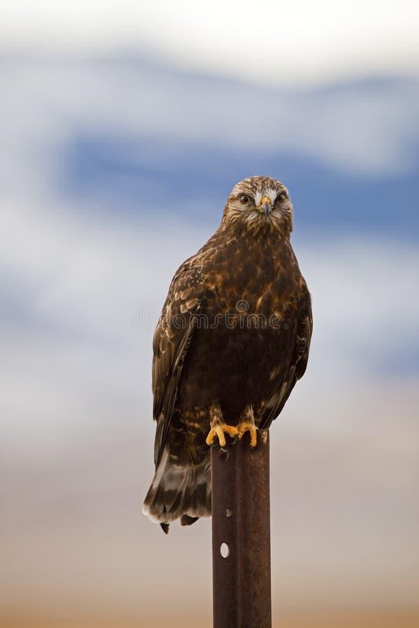Download Rough-legged Hawk Buteo Lagopus Stock Photo - Image: 27096490
