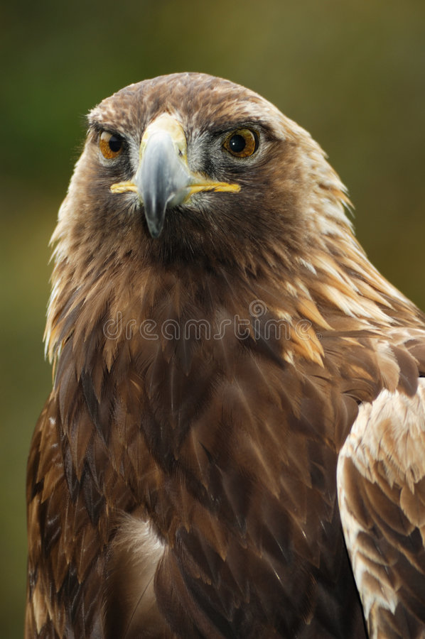 Free Golden Eagle Portrait Stock Images - 4901724
