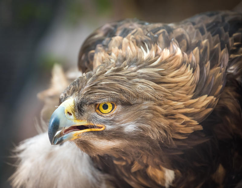 Golden Eagle Portrait - Intense Look - Closeup Detail. Golden Eagle - Perched on a Tree - Intense Stare royalty free stock photography