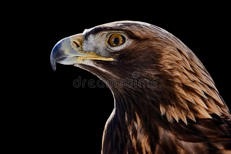 Golden Eagle royalty-vrije stock fotografie