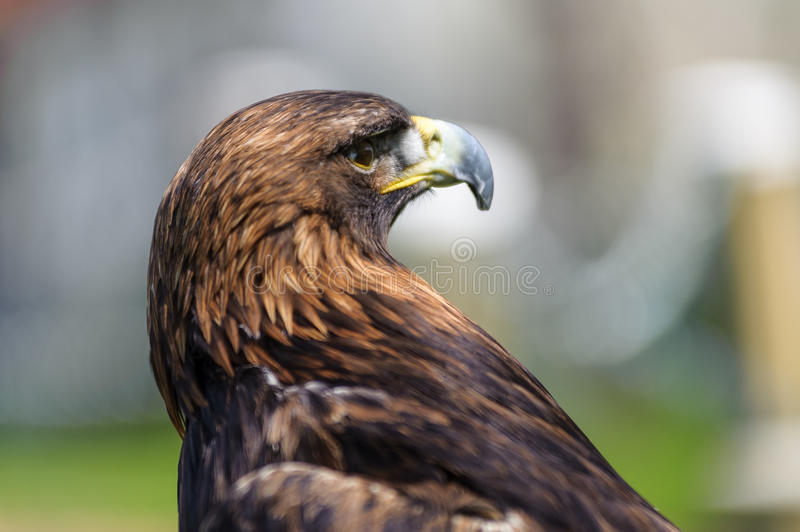 Golden Eagle profile view in side angle view stock photography