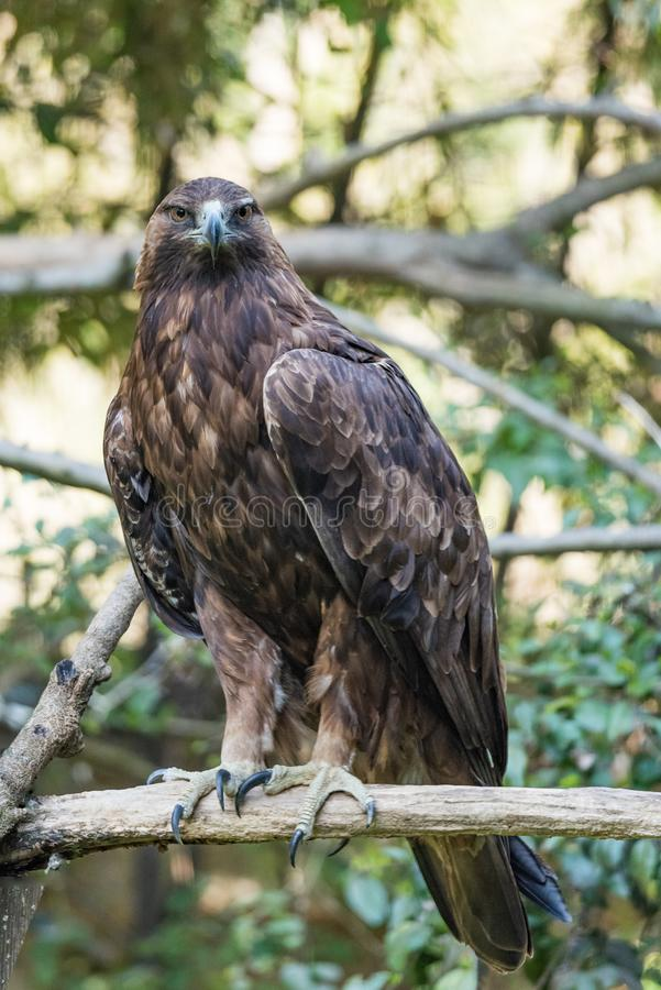 Golden eagle resting on a branch. Full-length portrait of a large adult bird of prey with fawn plumage. Vertical image of bird stock photo