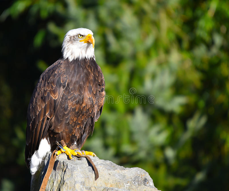 Golden eagle resting on rock. Looking around royalty free stock photography