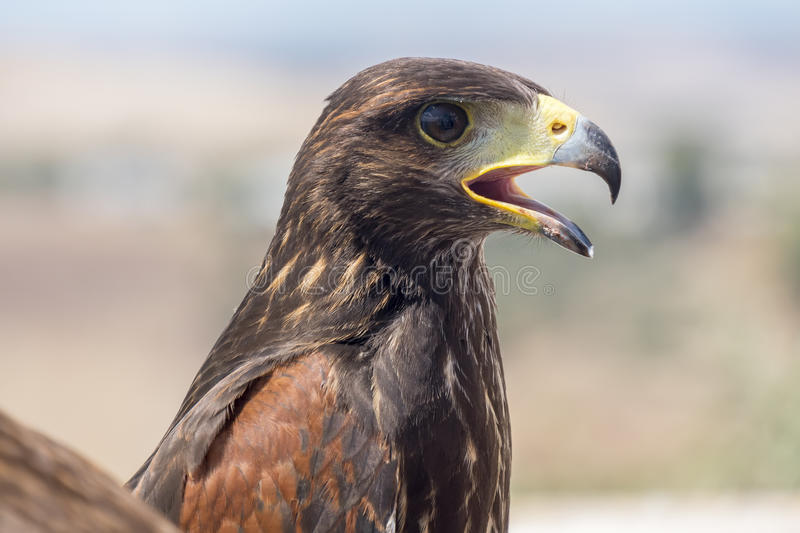 Golden eagle resting in the sun with open beak royalty free stock photos