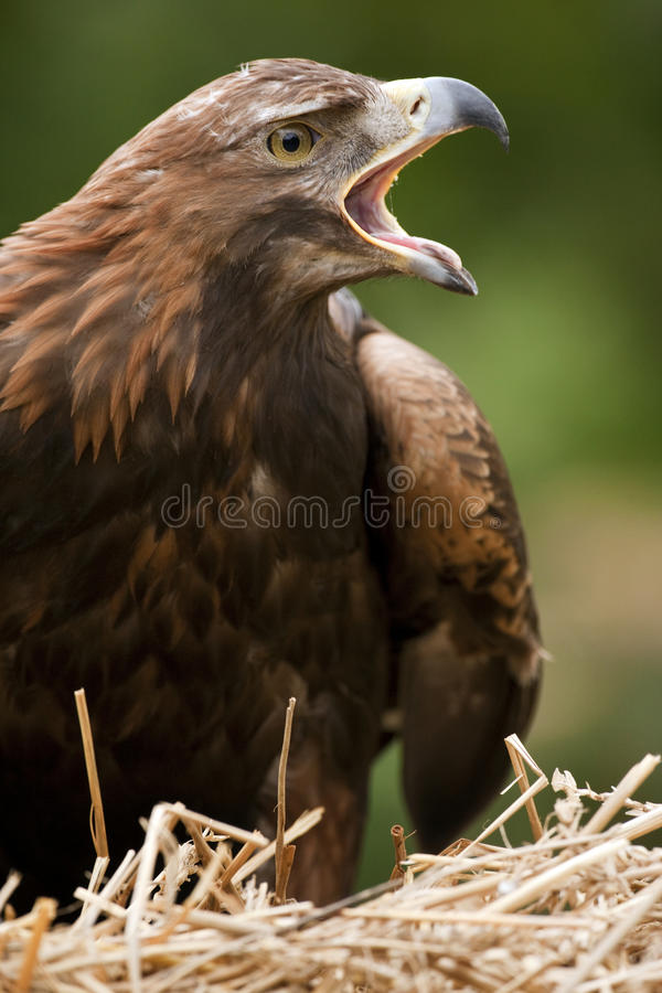 Golden Eagle - Scotland stock photos