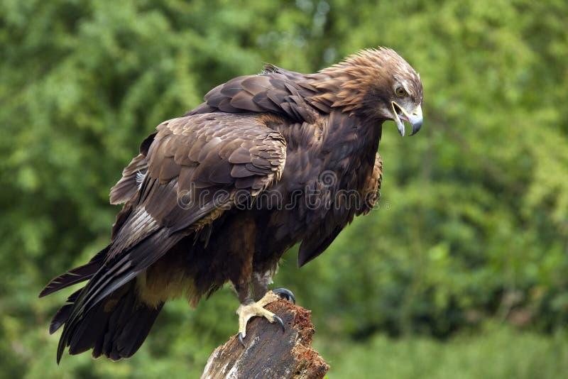 Golden Eagle -Scotland stock photos
