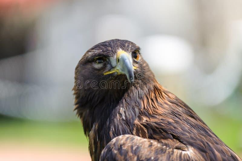 Golden Eagle semi profile view stock photo