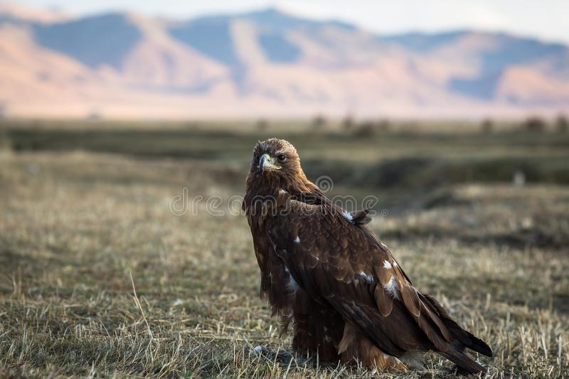 Golden eagle sits on land in the Mongolian steppe. Nature. Golden eagle sits on land in the Mongolian steppe royalty free stock photography