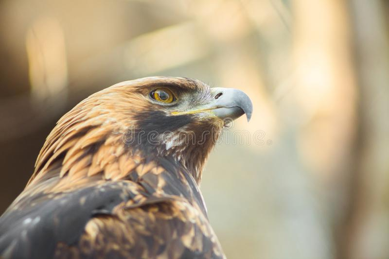 Golden eagle sitting on the branch. Portrait of golden eagle. Hunting bird stock photos