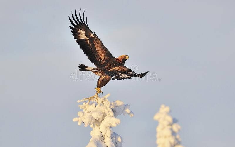 Golden Eagle Soar Wings Free Public Domain Cc0 Image