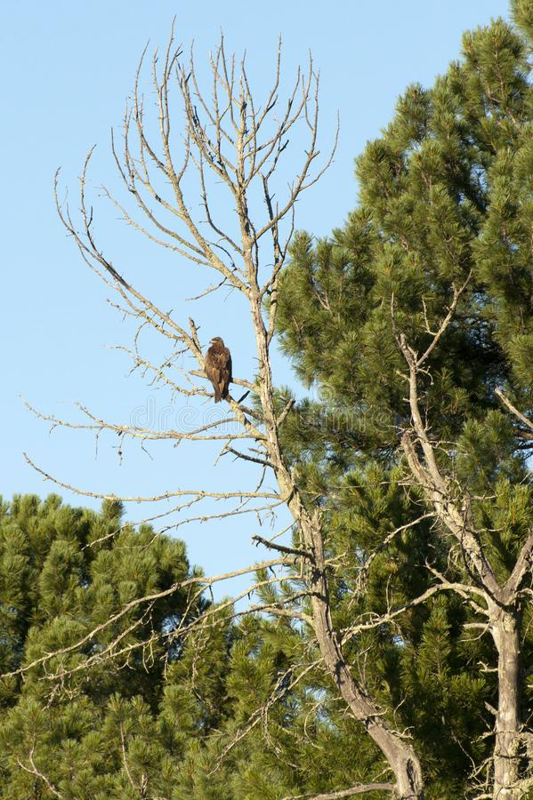 Golden eagle on a tree stock photo