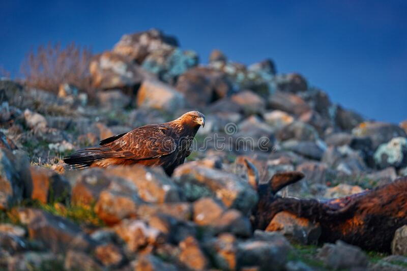 Golden eagle,walking between the stone, Rhodopes mountain, Bulgaria. Eagle, evening light, brown bird of prey with big wingspan. Cow carcass on the rock with royalty free stock photo