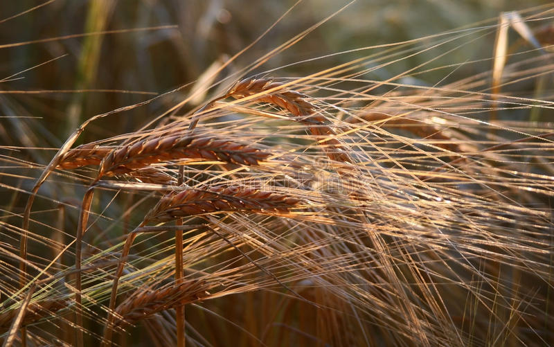 Download Golden Ears of Barley stock image. Image of farming, grain - 22057615