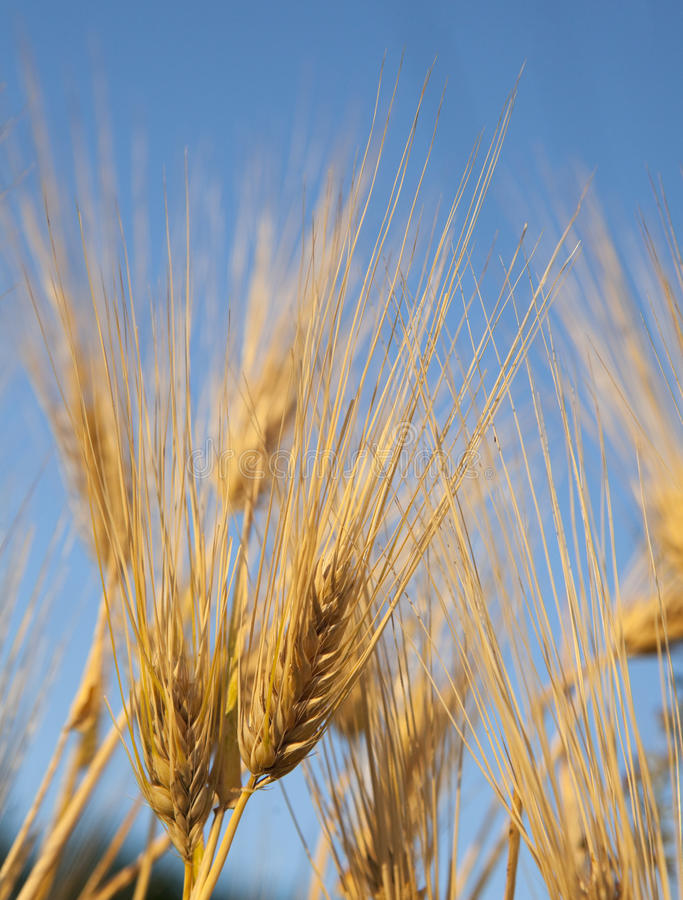 Golden ears in the field. Lit by the rising sun against blue sky royalty free stock photos