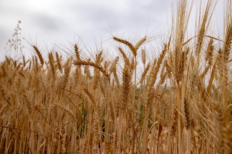 Golden ears of ripe wheat close up against a cloudy sky stock photo