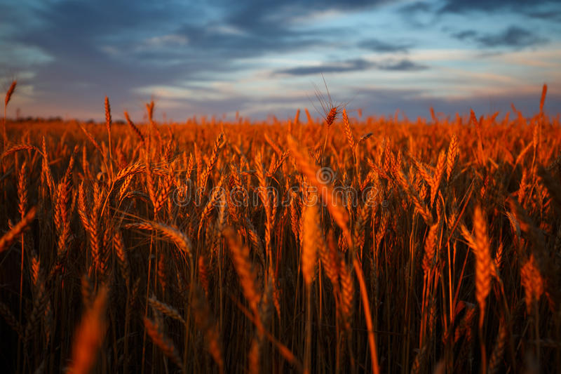 Golden ears of wheat on the field with cloudy sky on background. Sunset light royalty free stock images