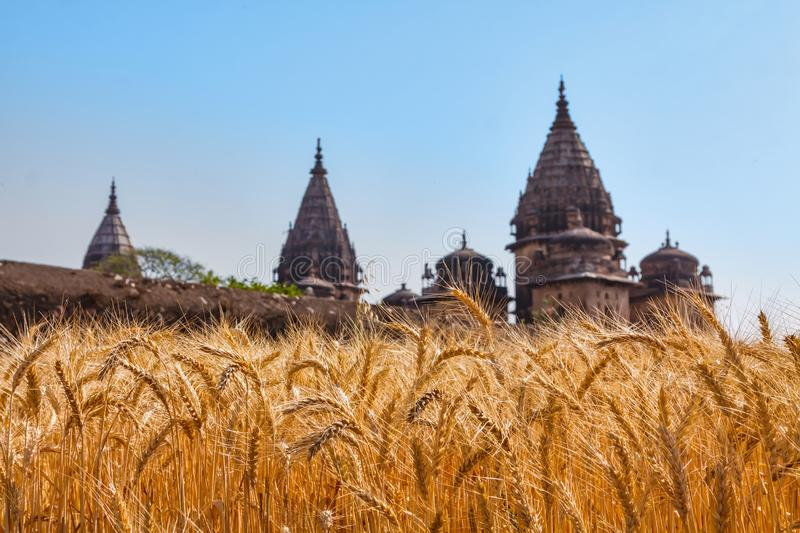Golden ears of wheat at an Indian field with old Indian towers stock photography