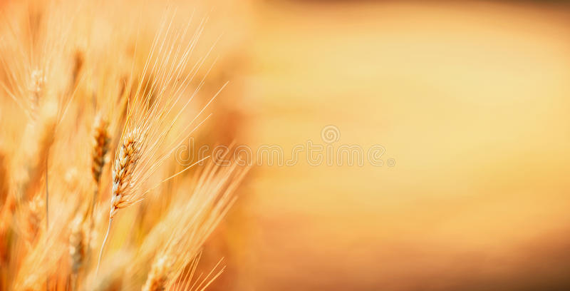 Golden Ears of wheat , outdoor nature, Cereal field, place for text . Agriculture farm stock photography