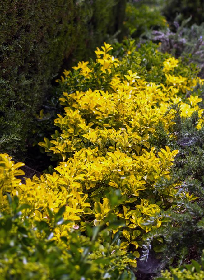 Golden euonymus Euonymus japonicus 'Aureo-marginatus' shrub royalty free stock photos